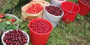 Buckets of fresh picked cherries - organic plant material used in holistic facials